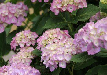 【お花ネタ】梅雨時期のお花といえば